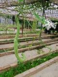 在农场的蛇金瓜 免版税库存照片