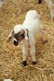 在农场的许多羊羔 免版税库存照片