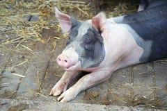 在农场的贪心猪 猪在秸杆说谎 免版税库存照片