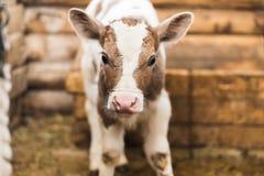 在农场的逗人喜爱的小牛 图库摄影