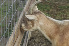 在农场的逗人喜爱的山羊 图库摄影