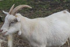 在农场的逗人喜爱的山羊 免版税库存照片