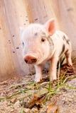 在农场的逗人喜爱的泥泞的小猪 免版税图库摄影
