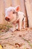 在农场的逗人喜爱的泥泞的小猪 库存照片