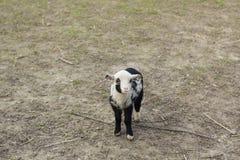 在农场的逗人喜爱的黑白羊羔 库存照片