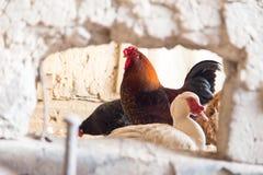 在农场的雄鸡 库存照片