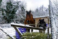 在农场的马,多雪的天气 免版税图库摄影