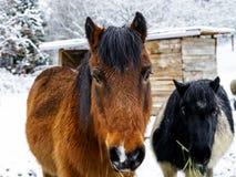 在农场的马,多雪的天气 库存图片