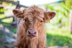 在农场的高地小牛 免版税库存图片