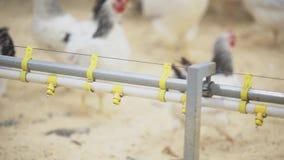 在农场的鸡走在金属管的 影视素材