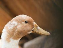 在农场的鸭子 免版税库存图片