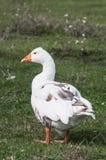 在农场的鹅 免版税库存照片