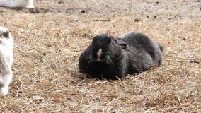 在农场的黑兔子 家畜在联络动物园里 4K 影视素材