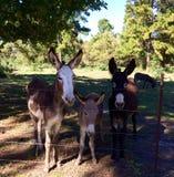 在农场的驴家庭 免版税库存图片