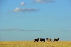 在农场的绵羊在中央维多利亚,澳大利亚 免版税图库摄影