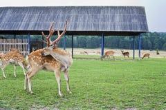 在农场的活鹿 在通配的鹿 图库摄影