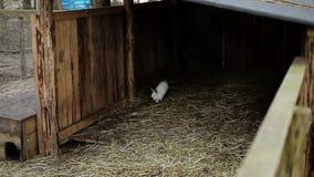 在农场附近和兔子跑的山羊 股票录像