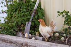 在农场附近的鸡汁流去 免版税库存图片