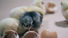 在农场,关闭的被孵化的小鸡  家禽养殖,禽畜产业,禽畜生产 股票录像