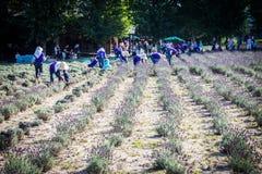在农场Tomita的淡紫色收获 图库摄影