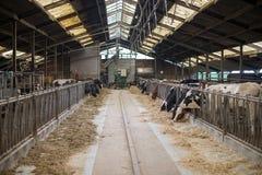 在农夫位置里面的母牛 库存图片