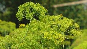 在农夫的种植园的增长的莳萝 莳萝开花特写镜头 开花的莳萝在夏天,春天在庭院里 股票视频