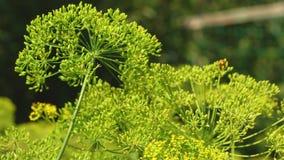 在农夫的种植园的增长的莳萝 莳萝开花特写镜头 开花的莳萝在夏天,春天在庭院里 股票录像