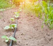 在农学节约水的水滴灌溉的现代系统和植物在庭院里,吸管分配器的生气勃勃和营养 库存照片