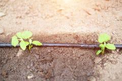 在农学节约水的水滴灌溉的现代系统和植物在庭院里,吸管分配器的生气勃勃和营养 免版税图库摄影