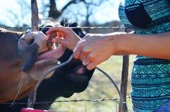 在农村国家农场的妇女哺养的小牛 在自然环境显示农业 库存照片