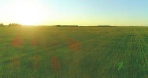 在农村夏天领域上的低空飞行与不尽的黄色风景夏天晴朗的晚上 在天际的太阳光芒 股票视频