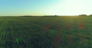 在农村夏天领域上的低空飞行与不尽的黄色风景夏天晴朗的晚上 在天际的太阳光芒 股票录像