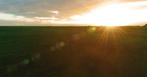 在农村夏天风景上的飞行与不尽的黄色领域晴朗的夏天晚上 农业农田秋天 股票录像