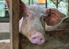 在农村猪圈的猪面孔 库存图片