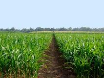 在农村的一块平静的麦地在泰国北部 图库摄影