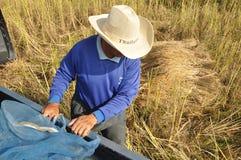 在农村的收获米,泰国   库存照片