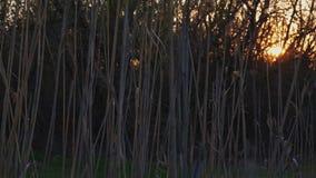 在农村的日落与在前景的干燥芦苇在背景的蒸汽和树 股票视频