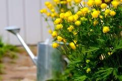 在农村的美丽的黄色Globeflowers欧洲毛莨科 免版税库存图片
