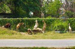 在农村的绵羊。 图库摄影