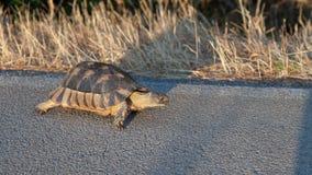 在农村路的边的草龟在沙丁鱼的 免版税库存照片