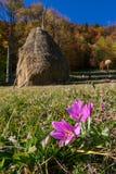 在农村风景的秋天番红花 免版税库存照片