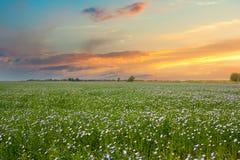 在农田和美好的日落的开花的蓝色胡麻 库存照片