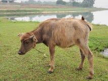 在农田旁边的水牛婴孩 免版税库存照片