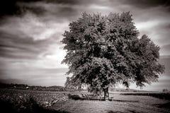 在农田的大老树在农村乡下 库存图片