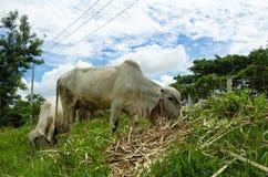 在农田的母牛 免版税图库摄影