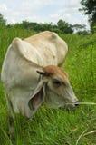 在农田的母牛 免版税库存图片