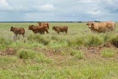 在农田的牛 免版税图库摄影