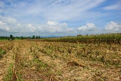 在农田的玉米收获 库存图片