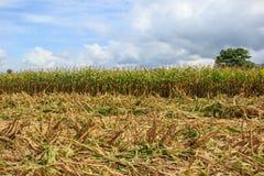 在农田的玉米收获 免版税图库摄影