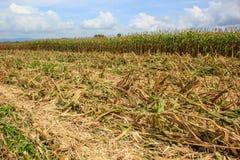 在农田的玉米收获 免版税库存图片